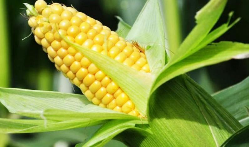OGM divieto coltivazione su suolo italiano: firmato Decreto dai Ministri De Girolamo, Lorenzin e Orlando