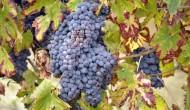 Dieta ricca di uva possibile arma in più contro Alzheimer